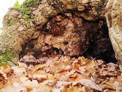 Champignons dans le creux de l'arbre d