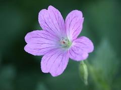 Fleur mauve - Photo of Saint-Armel
