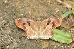 Chestnut Banded Angle Odontoptilum angulata
