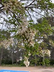 Les fleurs d'accacia ! Leur si caractéristique parfum m'ont fait lever le nez.