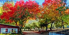 Apple Orchard Autumn, Oak Glen, CA 2019