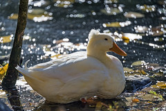 White duck sitting at the shore