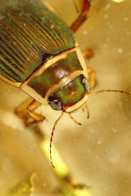 Le porte-étendard - Dytiscus marginalis
