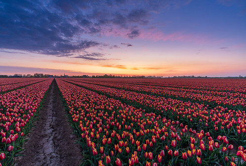 Kleurrijk klassiek bollenveld in Gelderland