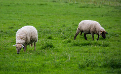 Sheep And Lambs On Cullum Road