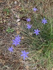 L'aphyllante de Montpellier ou Bragalou. Pour produire une meilleure macro, il faudra bien que j'y retourne avec l'objectif dédié.