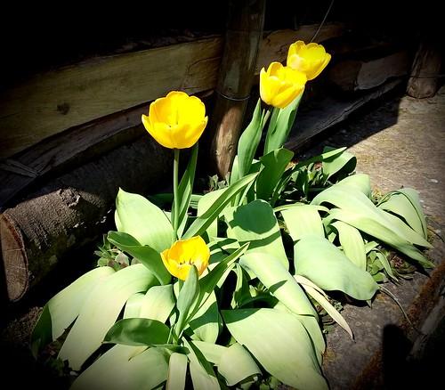 Tulipes jaunes ...