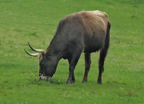 Aurochs, l'ancêtre de nos bovidés actuels.
