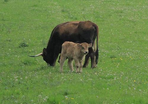 Un bébé aurochs.