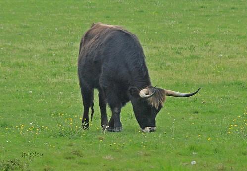 Un aurochs...