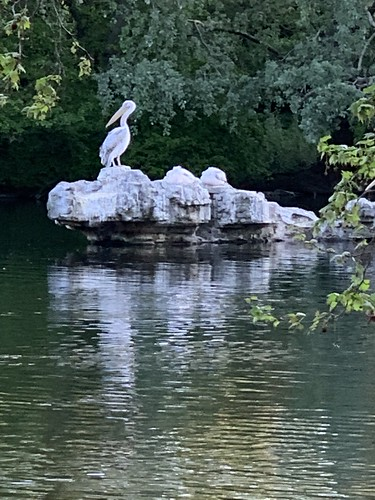 Reflections on a pelican in St James's Park