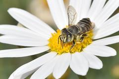 Megachile bee leafcutter f