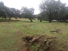Alcornoques (Quercus suber). Castaño del Robledo (Huelva).