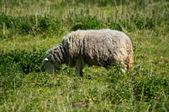 Sheep On No Mans Meadow