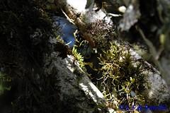 Acianthera aveniformis in situ