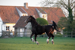 Z horses