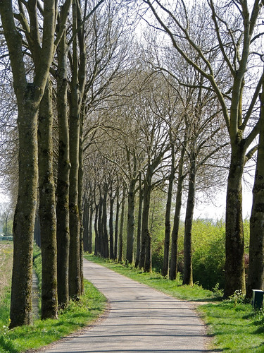 straight trees along a winding road