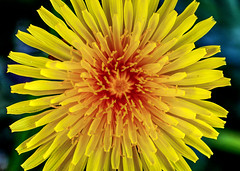 Dandelion at the lawn