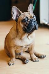 Portrait of an English Bulldog.