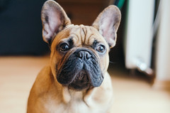 Bulldog portrait closeup.