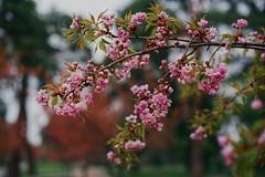Сакура / Sakura