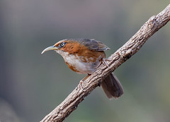 Rusty-cheeked Scimitar Babbler (EXPLORE!)