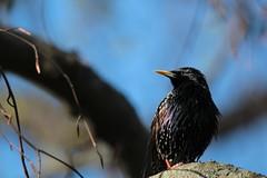 Stare (Starling)