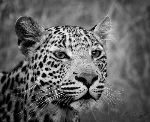 Leopard in Timbavati      (in Explore)