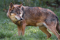 Wolf standing in the grass