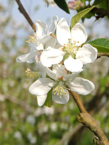 Blossom in the Betuwe