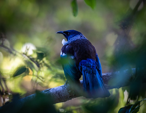 A Tui in My Pear Tree