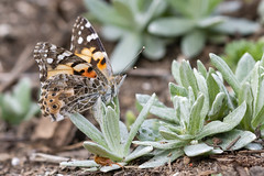 Painted Lady Laying Eggs on Pearly Everlasting