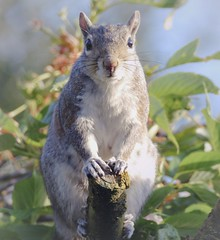 Grey squirrel 4 ( Sciurus carolinensis).  Lumix DMC FZ1000. P1280528