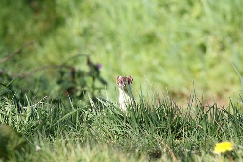 Hermelijn | Stoat (Mustela erminia) | Peizerwold nl