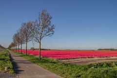 2020 - Tulpen in Flevoland