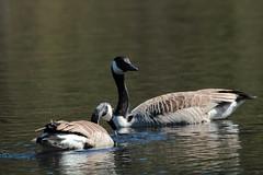 Kanadagås (Canada goose)