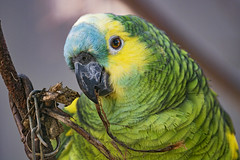 Close blue fronted Amazon