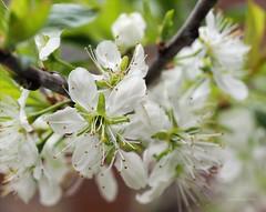back-yard blossoms