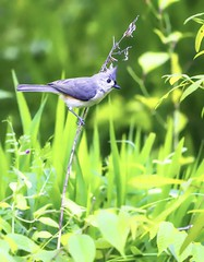 Tufted titmouse in Raleigh