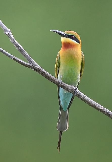 Blue-tailed Bee-eater (Merops philippinus) 栗喉蜂虎