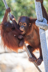 Young Orangutans at Zoo Tampa