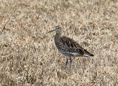 The curlew  in the sunny field.