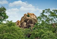 Lion King of Kidepo