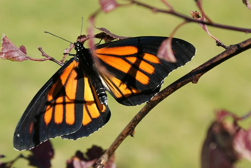 Monarch butterfly (5)