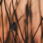 Common reed bunting (male), strnad rákosní (samec), CZE, 2020