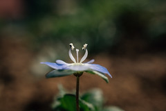 Extreme close-up of a small blue garden flower