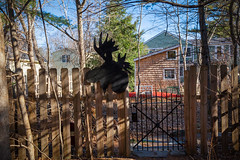 Moose On The Fence