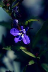 Une petite fleur bleue