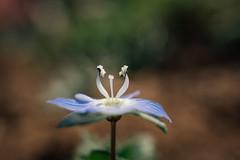 Extreme Nahaufnahme einer kleinen blauen Gartenblume