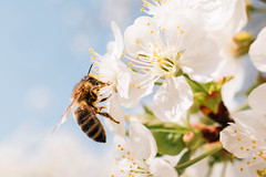 Bee pollinates a cherry blossom